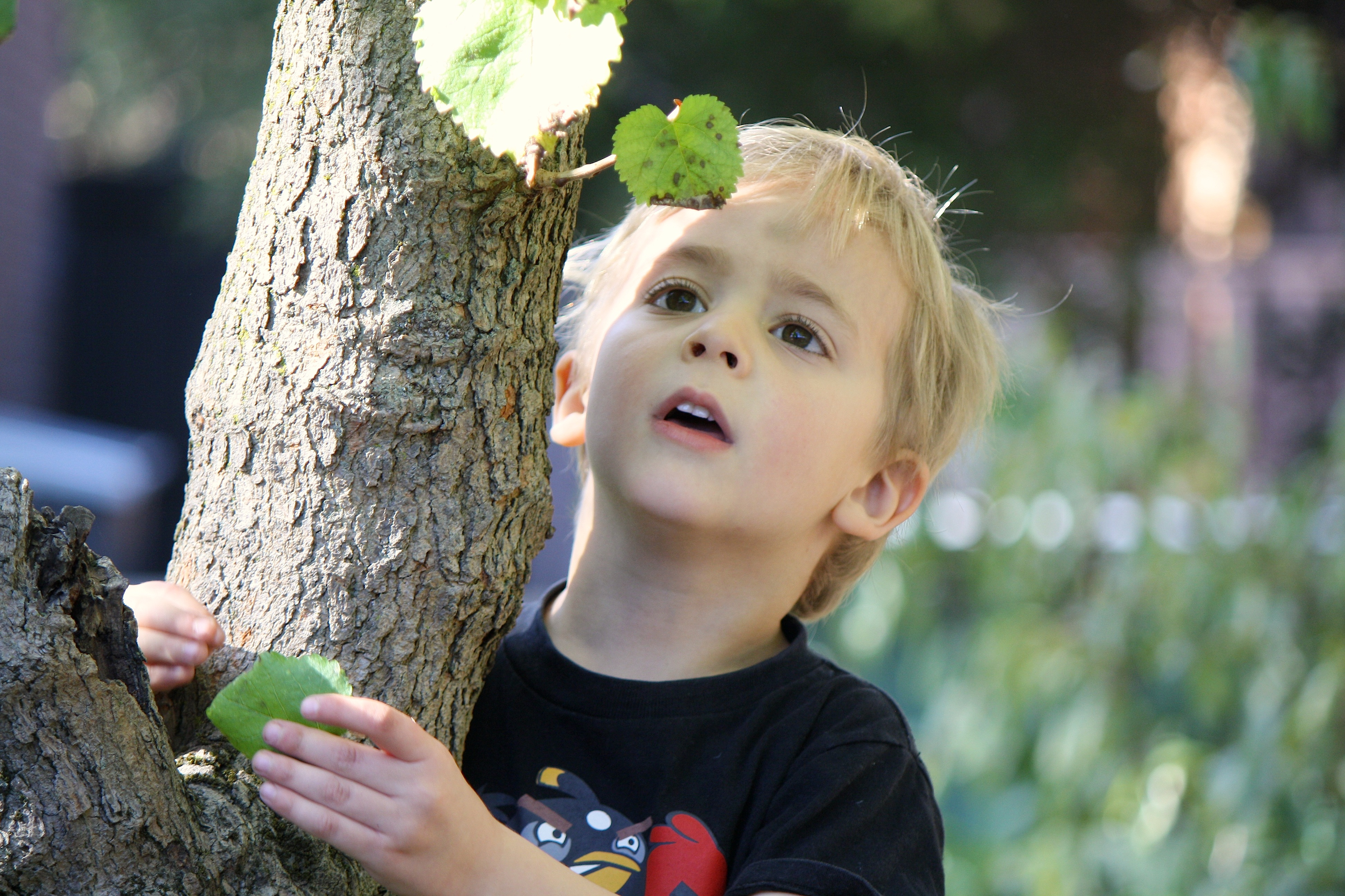 Young boy in a tree, studying the bark and leaves